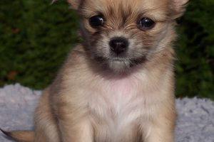imagen de un cachorro de chihuahua de pelo largo marron claro sentado en el jardin