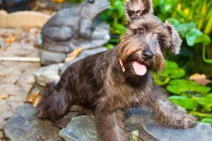 imagen de un cachorro de schnauzer en el jardin atento a juegos