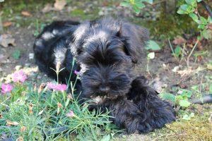 imagen de un cachorro de schnauzer en el jardin atento a su juguete