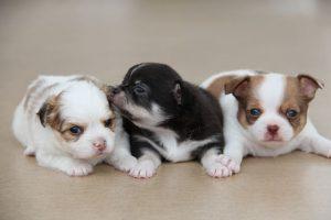 imagen de un cachorros de chihuahua juntos