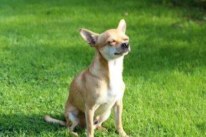 imagen de un chihuahua de pelo corto disfrutando del sol en el jardin