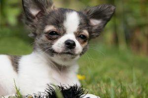 imagen de un chihuahua de pelo corto feliz en el campo