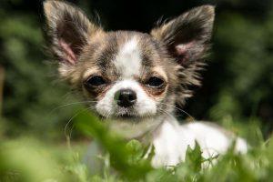 imagen de un chihuahua de pelo corto posando en el jardin