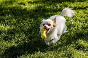imagen de un chihuahua de pelo largo blanco y marron jugando en el jardin