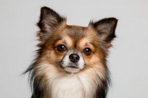 imagen de un chihuahua de pelo largo marron atento