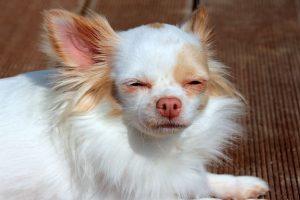 imagen de un chihuahua de pelo largo tumbado en la tarima