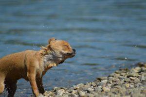 imagen de un chihuahua en el agua