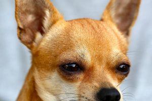 imagen de un chihuahua pelo corto atento