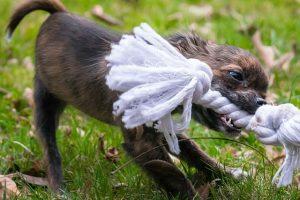 imagen de un chihuahua pelo corto atigrado jugando en el jardin