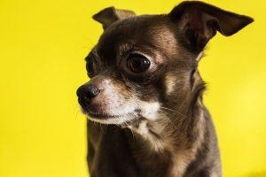 imagen de un chihuahua pelo corto marron impresionado