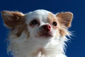 imagen de un chihuahua posando