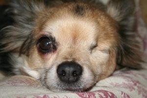 imagen de un chihuahua un ojo amor perruno