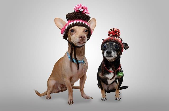 imagen de un chihuahuas con sombrero
