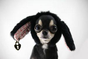 imagen de un cihuahua de pelo corto disfrazado