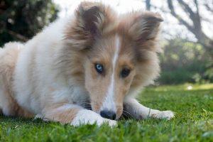 imagen de un collie cachorro con ojos lindos