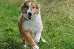 Imagen de un collie cachorro corriendo