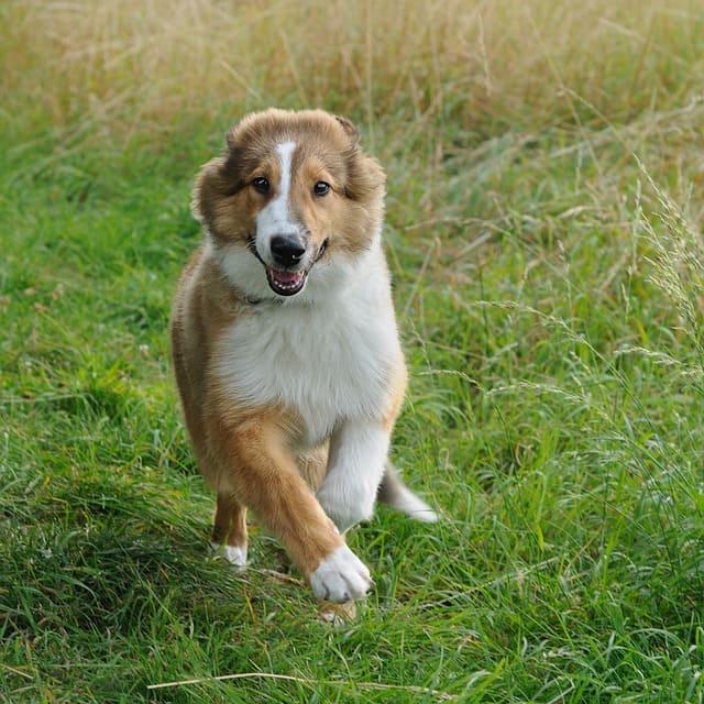 imagen de un collie cachorro corriendo por el campo