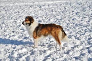 imagen de un collie en la nieve de pie