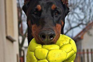 imagen de un doberman jugando con la pelota
