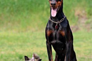 imagen de un doberman sentado son un amigo pequeño en el campo