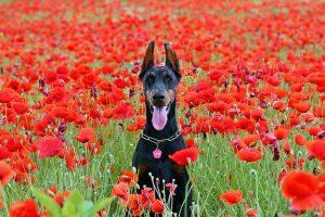 perro doberman campo amapolas sentado