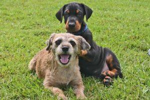 imagen de un cachorro de doberman con un amigo en el campo