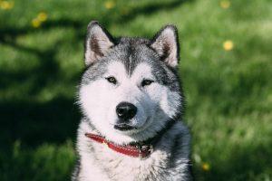 imagen husky siberiano adulto