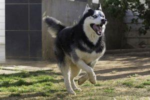 imagen de un husky siberiano corriendo contento en el jardin