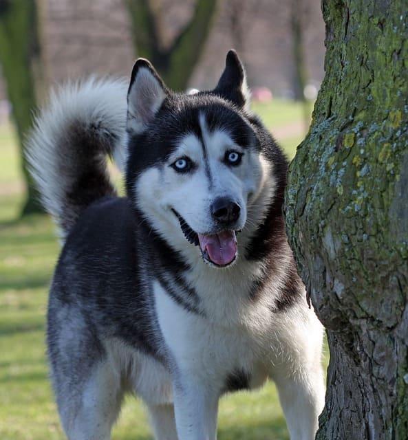 imagen de un husky siberiano escondido tras un argbol jugando