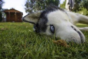 imagen de un husky siberiano gracioso en el jardin