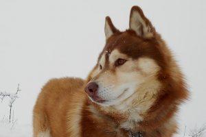 imagen de un husky siberiano marron atento en la montaña con nieve