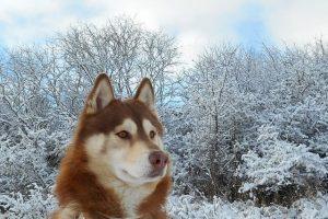imsgen de un husky siberiano marron posando en el bosque con nieve