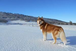 imagen de un husky siberiano marron posando en la montaña con nieve