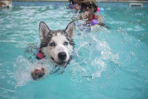 imagen de un husky siberiano nadando en la piscina