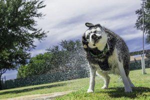 imagen de un husky siberiano secandose en el rio
