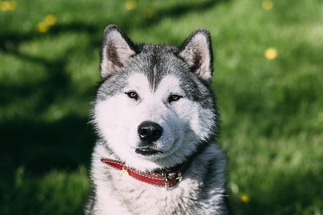 imagen de un husky siberiano sentado en el campo
