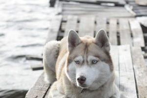 imagen de un husky siberiano tumbado junto al lago