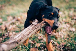 imagen de un cachorro de doberman en el campo jugando con un palo