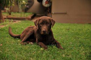 perro labrador choclate campo tumbado adolescente