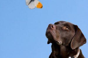 perro labrador choclate mariposa