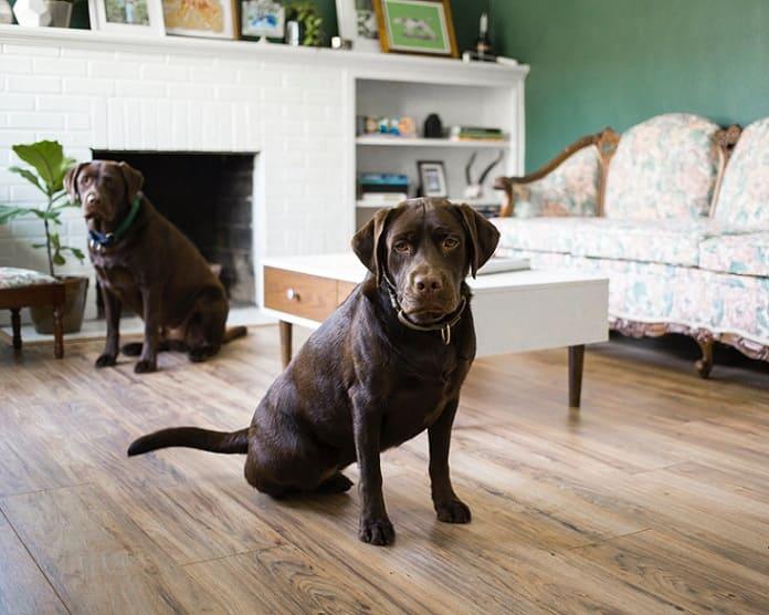 perro labrador chocolate casa sentado