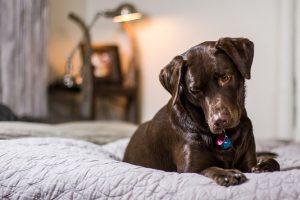 imagen de un labrador chocolate tumbado cama