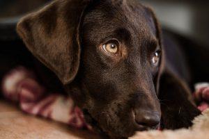 imagen de un labrador chcolate tumbado mirando