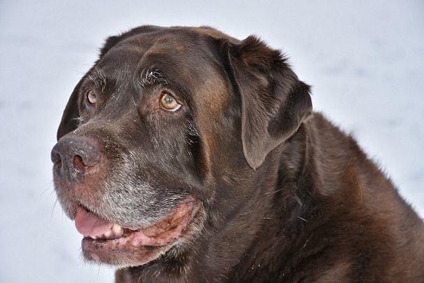 perro anciano labrador chocolate