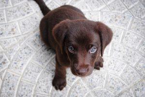 imagen de un cachorro labrador chocolate