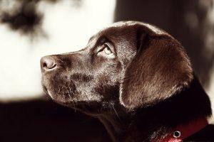 imagen de un cachorro labrador chocolate atento a su dueño
