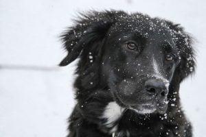 imagen de un collie en la nieve atento