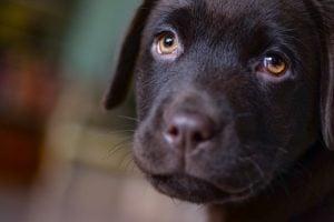 imagen de un cachorro de labador choclate