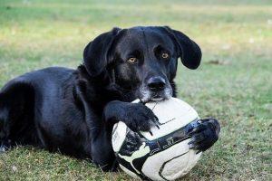 imagen de un labrador negro anciano con su pelota en el campo