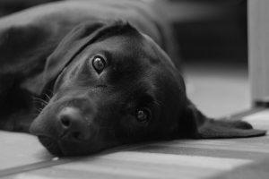 imagen de un labrador negro tumbado mirandote